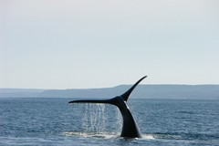 Whale, Argentina, Patagonia, South, Southern Argentina