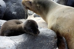 Pup, Mother, Sea, Lion, Baby, Bond, Galapagos, Islands