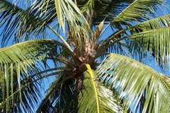 Coconut Tree, Caribbean, Blue Sky, Palm, Frond, Nature